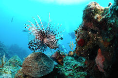 Underwater marine life. Near a tropical coral reef Royalty Free Stock Images