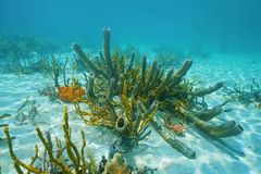 Underwater marine life branching vase sponge. Underwater marine life on sandy seabed of the Caribbean sea, mostly branching vase sponge and scattered pore rope royalty free stock photo