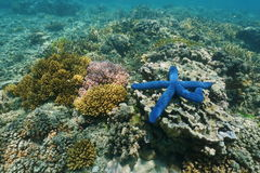 Underwater marine life colors sea star with corals. Underwater marine life colors, a blue Linckia sea star with corals, south Pacific ocean, New Caledonia stock photography