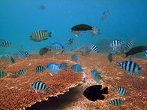 Underwater marine life, corals, fish and colorful Royalty Free Stock Image