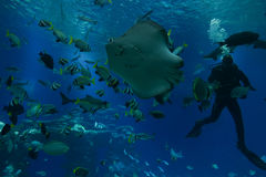 Underwater Observatory aquarium feeding fish. EILAT, ISR - NOVEMBER 2016: diver feeding fish in the Shark Pool of Coral World Underwater Observatory aquarium in Royalty Free Stock Photos