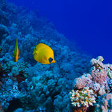 Underwater ocean coral garden with butterfly fish. Underwater deep blue sea coral garden with butterfly fish and many other kinds of fihsh stock images