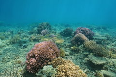 Underwater Pacific ocean floor with colorful coral Royalty Free Stock Photo