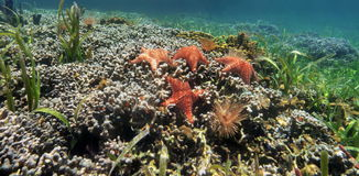 Underwater panorama of a coral reef with starfish Stock Photography