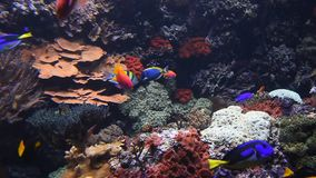 Colorful see fishes in aquarium close up. Underwater panorama, vivid colorful multicolor small and big tropical see fishes in aquarium with corals, algae weed stock video