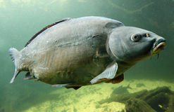 Underwater photo of a big Carp. Stock Images