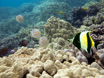 Underwater photo of Butterflyfish, Wrasse and other tropical fish Royalty Free Stock Photo