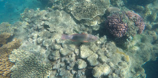 Underwater photo of coral and a brightly coloured bridled parrot fish Royalty Free Stock Image