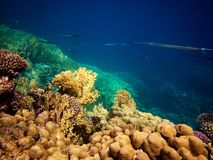 Underwater photo of cornetfish with coral reefs in red sea. Colorful underwater photo of beautiful cornetfish with coral reefs in red sea royalty free stock photography