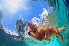 Underwater photo of dog swimming in outdoor pool Stock Image