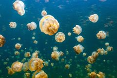 Jellyfish Lake. Underwater photo of endemic golden jellyfish in lake at Palau. Snorkeling in Jellyfish Lake is a popular activity for tourists to Palau Stock Photos