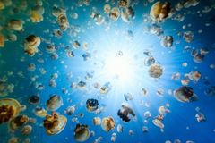 Jellyfish Lake. Underwater photo of endemic golden jellyfish in lake at Palau. Snorkeling in Jellyfish Lake is a popular activity for tourists to Palau Royalty Free Stock Photo