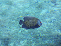 Underwater photo of a French Angelfish Stock Images