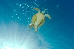 Underwater photo of a green sea turtle chelonia mydas with sha. Green sea turtle chelonia mydas breathing at the surface accompanied by sharksuckers remoras stock image