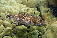 Underwater photo of Pufferfish fish Stock Image