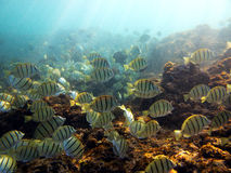 Underwater photo of a school of yellow Sergeant Major fish royalty free stock image