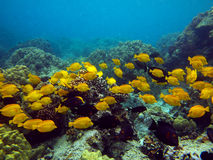 Underwater photo of a school of yellow Surgeonfish Royalty Free Stock Photography