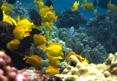 Underwater photo of a school of yellow Surgeonfish Stock Photos