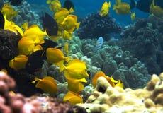Underwater photo of a school of yellow Surgeonfish stock photos