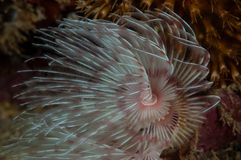 Underwater photo species in Gorontalo, Indonesia. Royalty Free Stock Photo