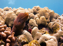 Underwater photo of spotted Moray Eel stock photo
