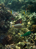 Underwater photo of Surgeonfish, Wrasse and other tropical fish stock photos