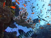 View of the corals, Twobar seabream and Anthias fish in the Red Sea. Underwater photo, a view of the corals, Twobar seabream and Anthias fish in the Red Sea in royalty free stock photo