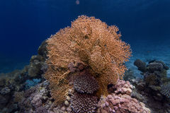 Underwater photograph : Fire Coral Royalty Free Stock Photography