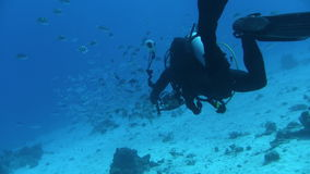 Underwater Photographer approaching Fish Shoal stock footage