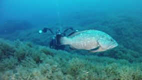 Underwater photographer with a big grouper fish