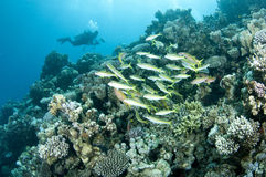 Underwater photographer swims over coral reef Stock Photography