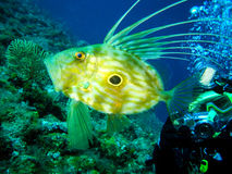 Underwater photographer is taking picture of a zeus faber fish. Royalty Free Stock Photography