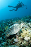 Underwater photographer with turtle Stock Photography