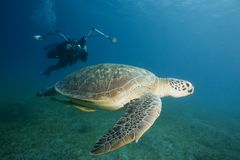 Underwater Photographer/Turtle. Underwater scene with an underwater photographer swimming toward a green sea turtle Royalty Free Stock Photos