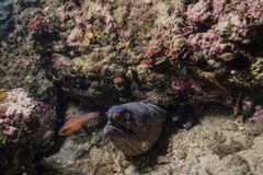Brown eel fish in its reef lair stock images