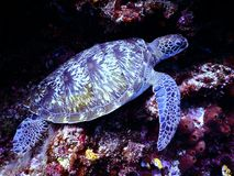 Underwater Photography of Brown Sea Turtle royalty free stock images