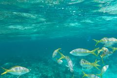 Underwater photography of the Caribbean Sea. Corals and fish Stock Image