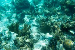 Underwater photography of the Caribbean Sea. Corals and fish Royalty Free Stock Image