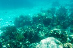 Underwater photography of the Caribbean Sea. Corals and fish Royalty Free Stock Photography
