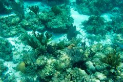 Underwater photography of the Caribbean Sea. Corals and fish Royalty Free Stock Images