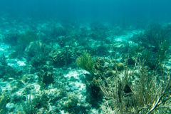 Underwater photography of the Caribbean Sea. Corals and fish Royalty Free Stock Photos