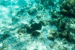 Underwater photography of the Caribbean Sea. Corals and fish Stock Photography
