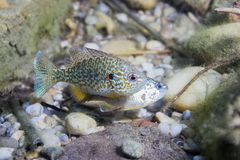 Underwater photography of freshwater fish Pumpkinseed Lepomis gibbosus. Underwater photography of a freshwater fish Pumpkinseed Lepomis gibbosus. Invasive Royalty Free Stock Photos