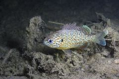 Underwater photography of freshwater fish Pumpkinseed Lepomis gibbosus. Underwater photography of a freshwater fish Pumpkinseed Lepomis gibbosus. Invasive Stock Photos
