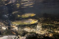 Underwater Photography Of Brown Trout Salmo Trutta Stock Photo
