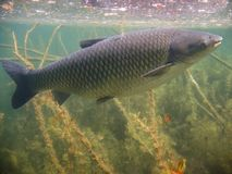 Underwater picture of Grass carp Ctenopharyngodon idella Royalty Free Stock Photography