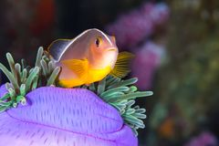 Pink Skunk Clownfish Amphiprion perideraion. Underwater picture of Pink Skunk Clownfish Amphiprion perideraion royalty free stock photos