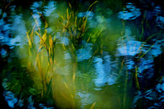 Underwater plants of the river. Green and yellow underwater plants of the river with some blue sky reflections background Stock Image