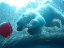 Underwater Polar Bear. The Polar Bear at the Pittsburgh Zoo, viewed from underwater stock images