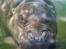 Underwater portrait of pygmy hippopotamus or Choeropsis liberiensis royalty free stock image